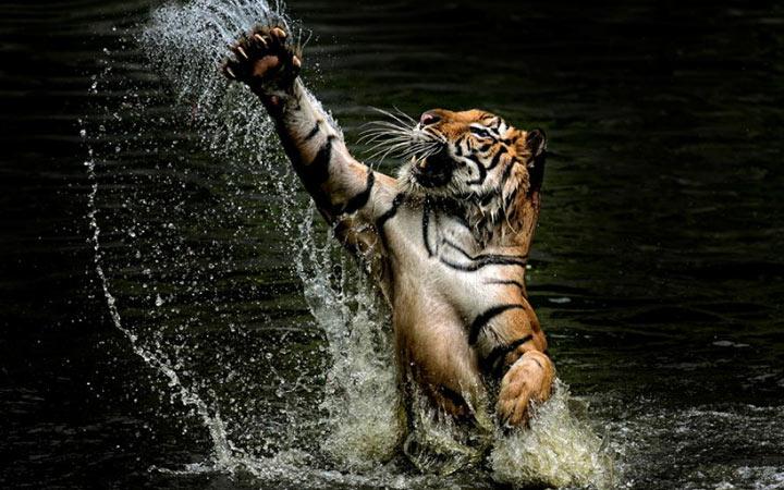 Что не любит Черный Водяной Тигр - покровитель 2022 года