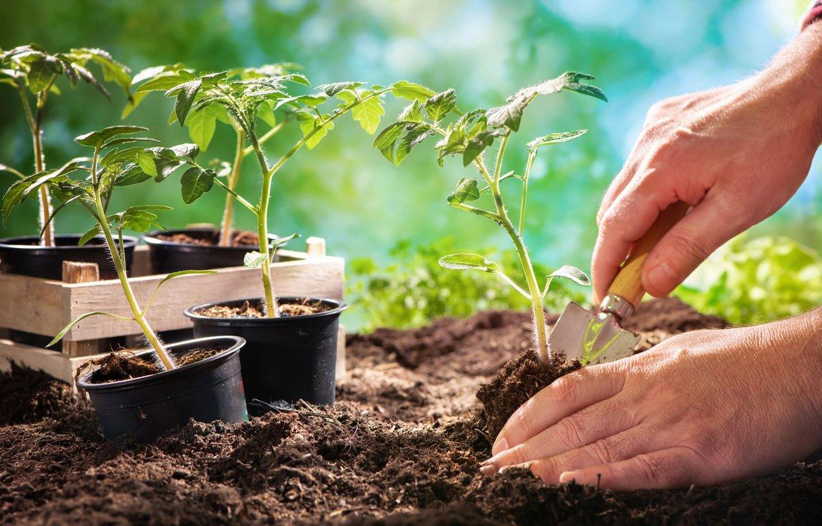 Посадка помидор на рассаду и в теплицу в 2022 году - благоприятные дни по лунному календарю