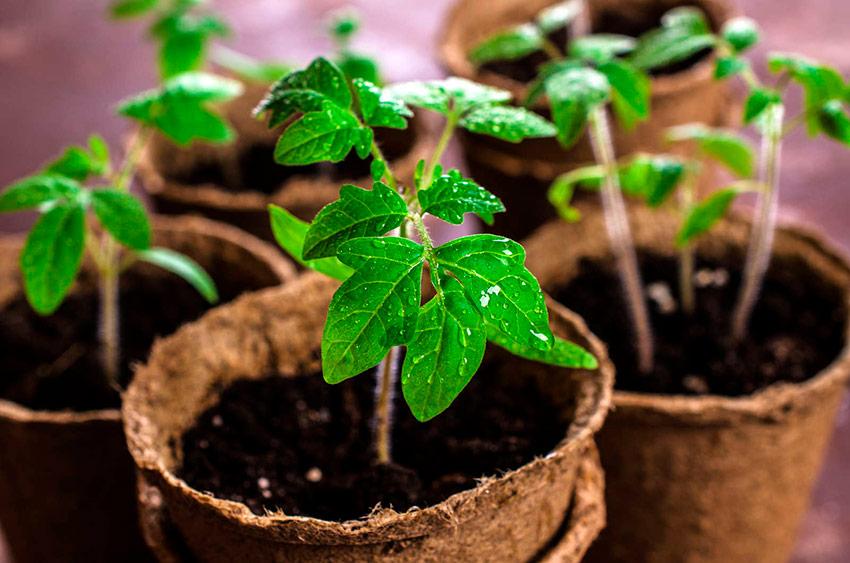 Посадка помидор на рассаду и в теплицу в 2022 году | когда сажать, календарь