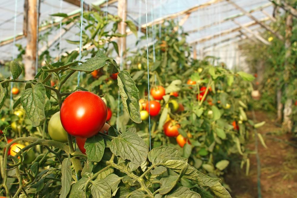 Посадка помидор на рассаду и в теплицу в 2022 году - советы огороднику