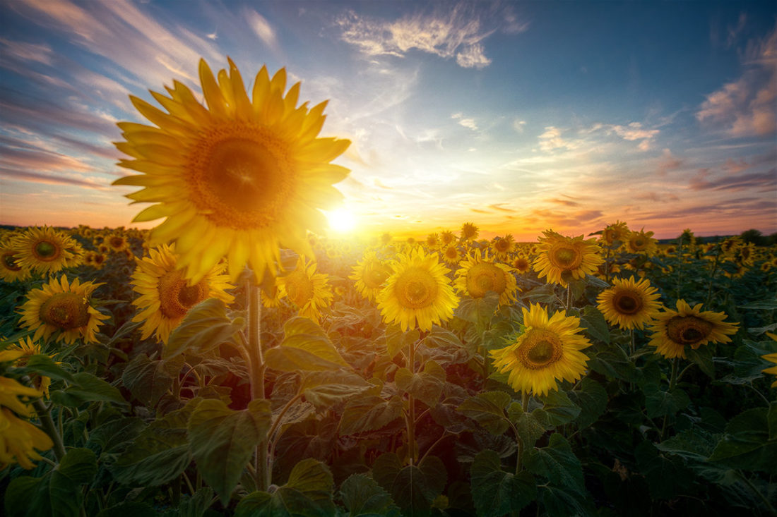 подсолнухи на фоне солнца